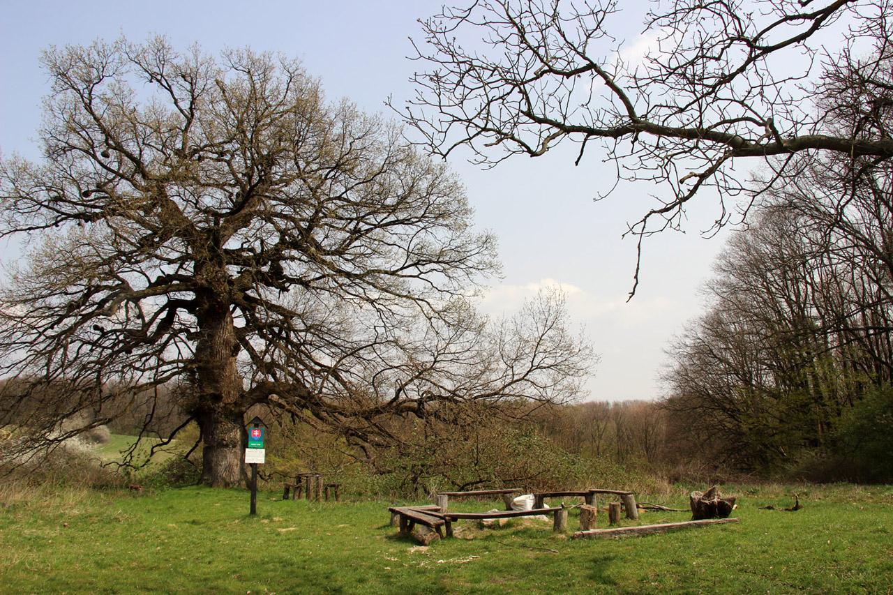 Rákocziho dub - chránený dub letný, Podlužany