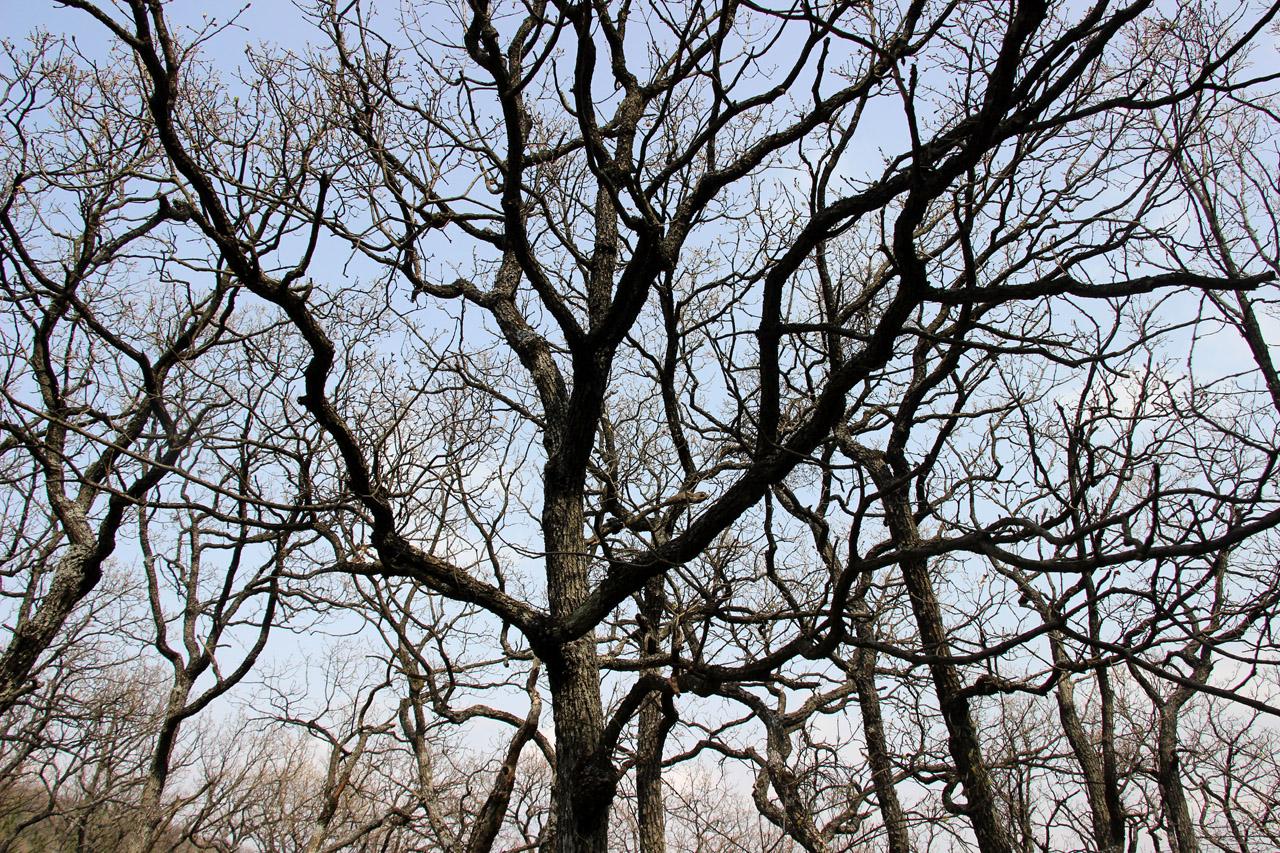 Listnaté stromy, Vysoká, Strážovské vrchy