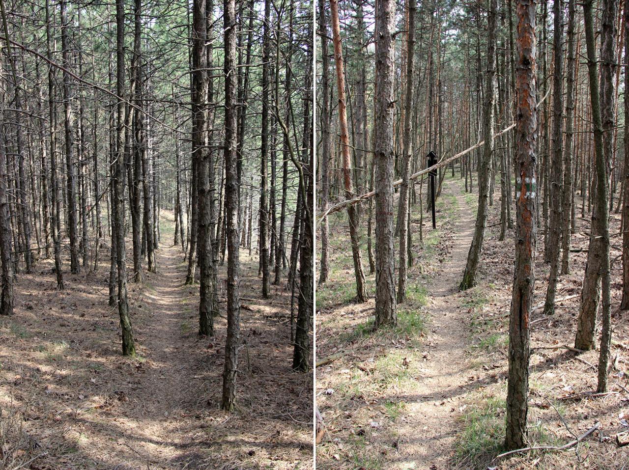 Ihličnaté lesy, pod Kňažím Stolom, Strážovské vrchy