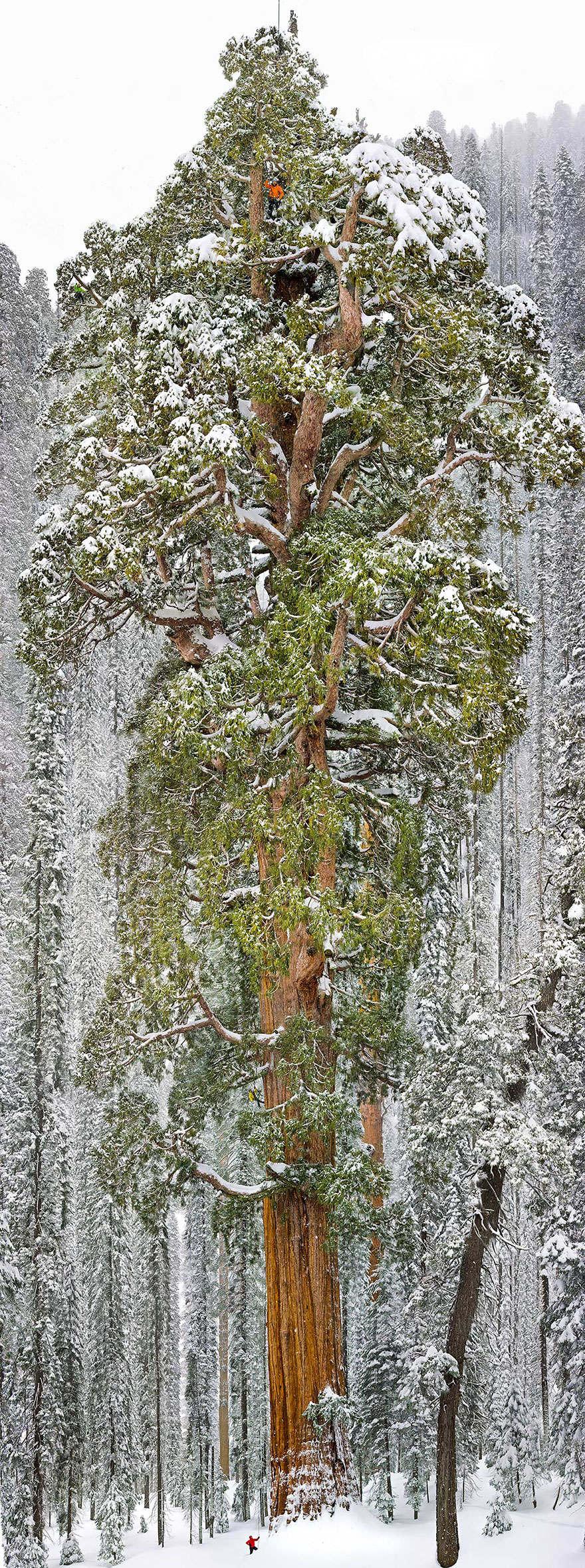 Miesto: Druhý najväčší strom (Sequoia) na svete, Národný park Kalifornia | Autor: Michael Nichols