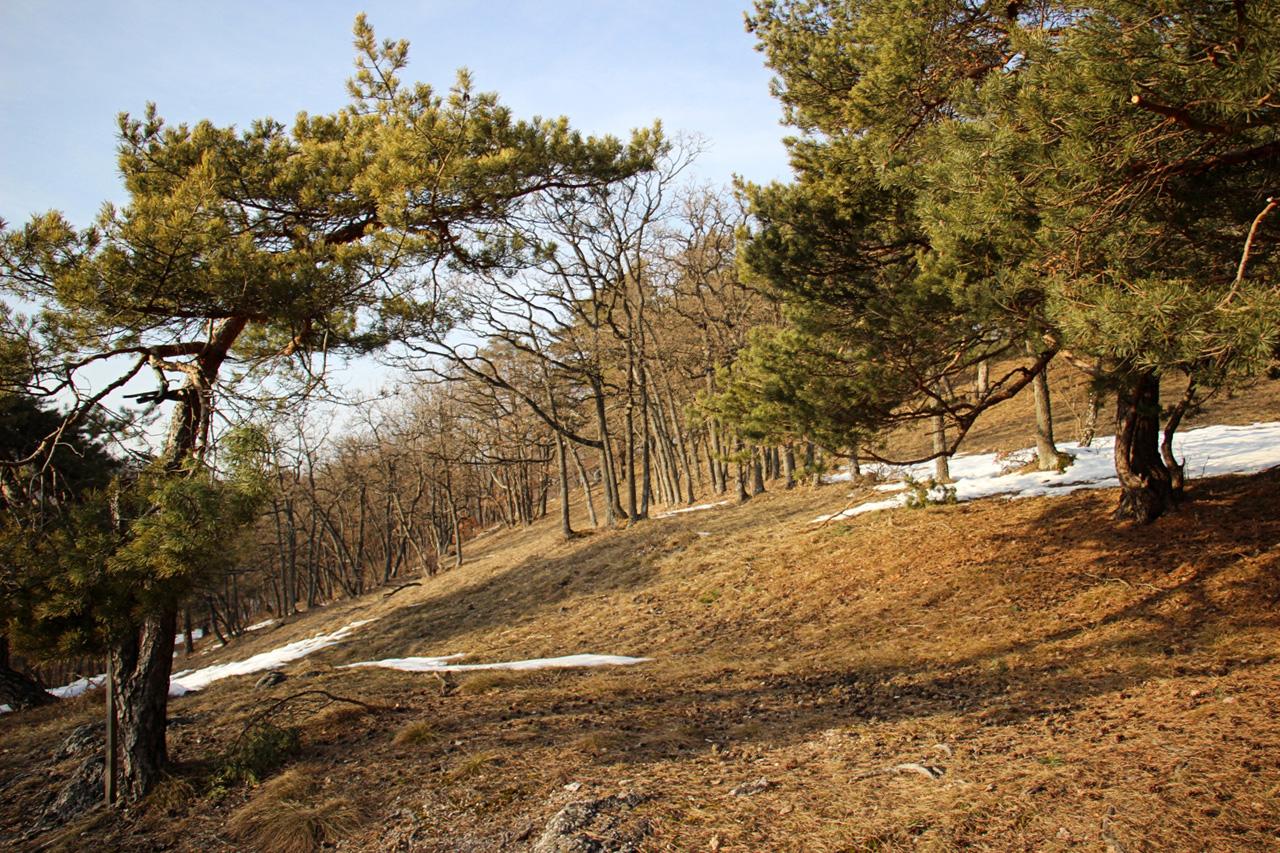 Borovice nad Jankovým vŕškom