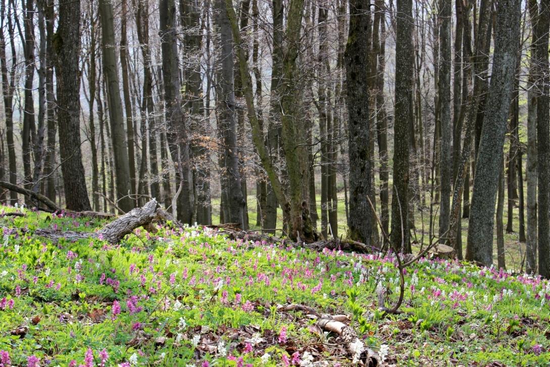 Rozkvitnuté lesy - apríl