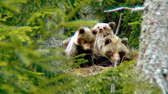 V okolí Štrbského plesa sa pohybuje medvedica s dvomi dvojročnými mláďatami.