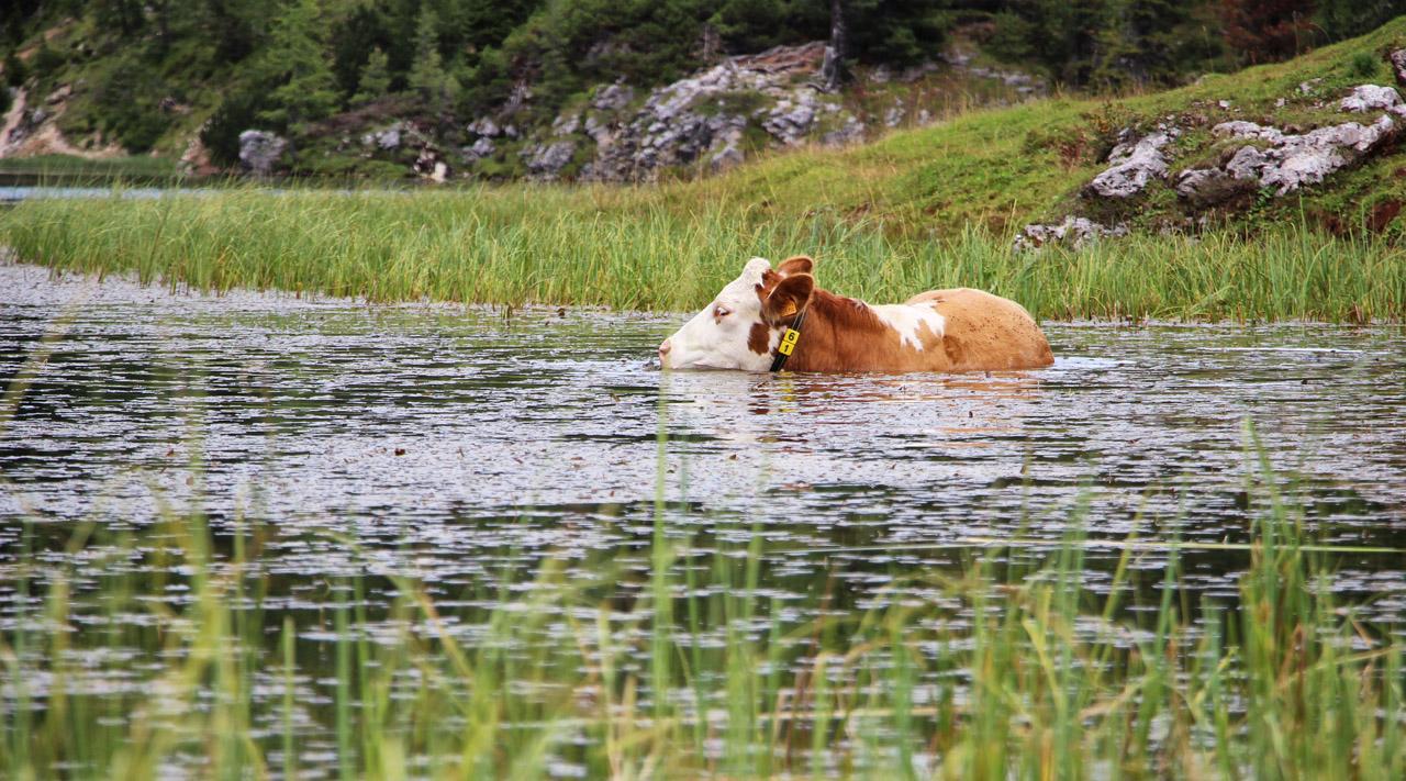 Krava sa kúpe v Lado Federa