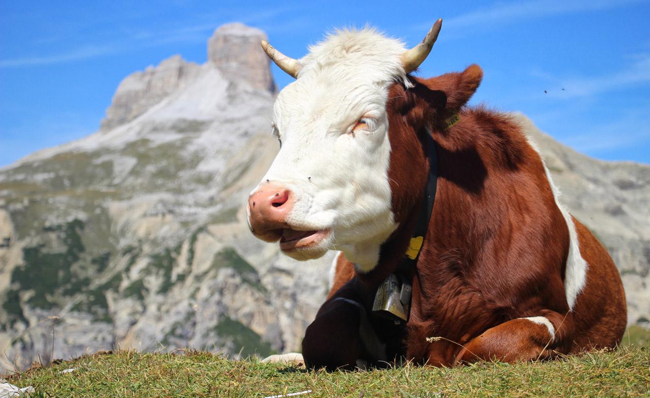 Krava pri Tre Cime, Dolomity