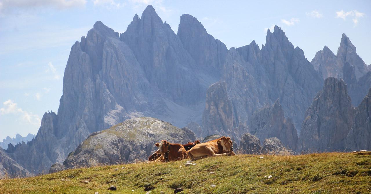 Kravy pod Tre Cime, Dolomity