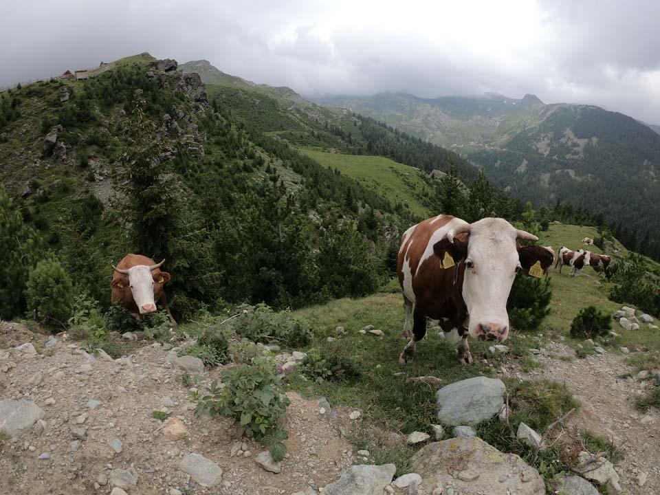 Kravičky na ceste Najvyšší vrch Kosova - Djeravica 2656 m.