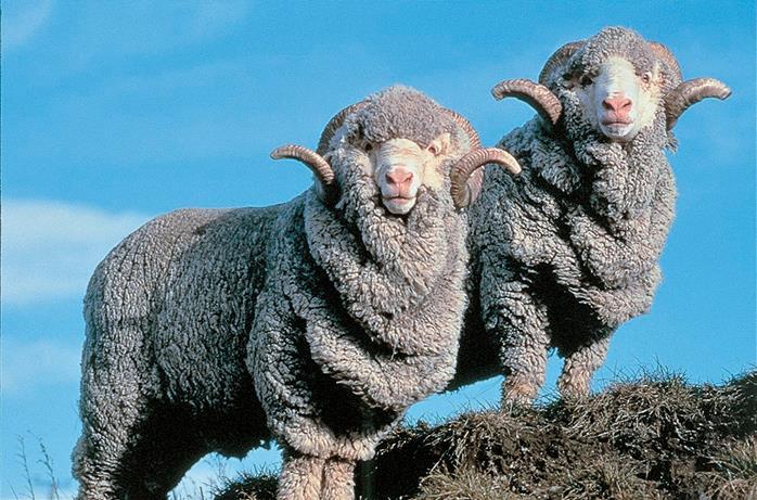 Merino ovečky, zdroj: therakeonline.com